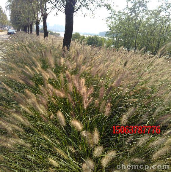 承德北京地区高羊茅早熟禾比例-欢迎咨询